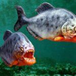 Пиранья: бич водоемов Южной Америки