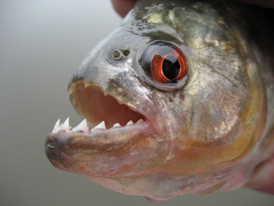 рыба пиранья краткое описание