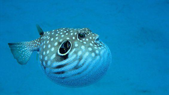 рыба фугу видео