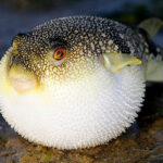 Рыба Фугу — смертельный деликатес из Японии