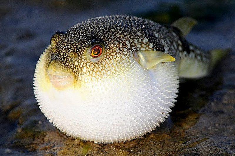 рыба фугу фото
