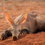 Трубкозуб — удивительный африканский зверек
