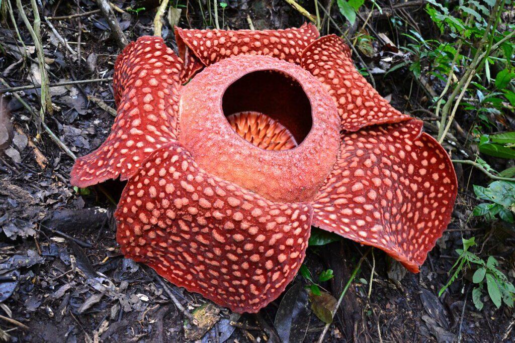 Раффлезия арнольди фото цветка