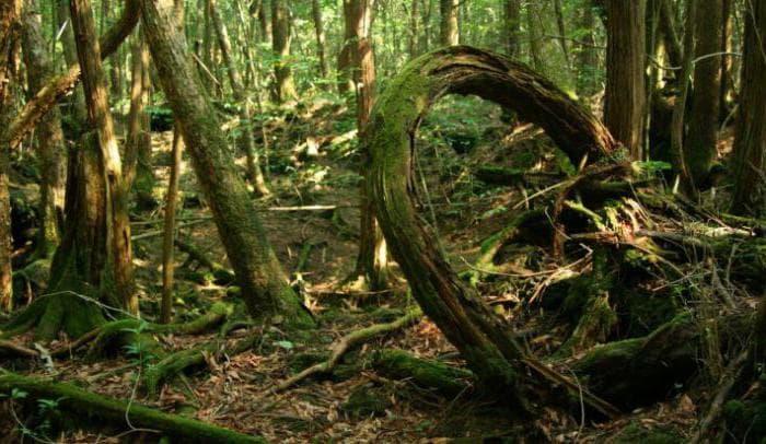 лес Аокигахара фото