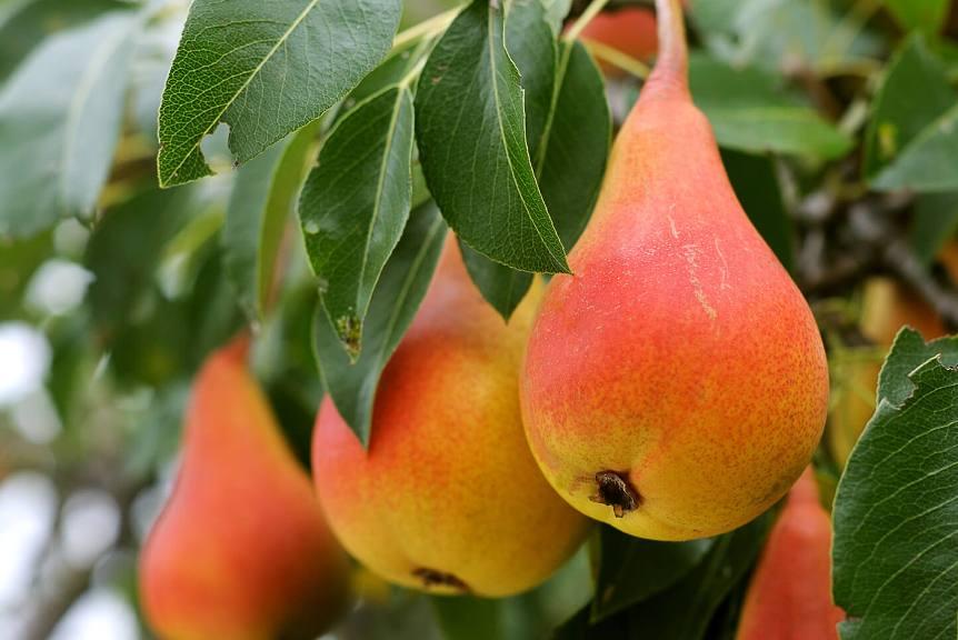 как выглядит спелый плод груши