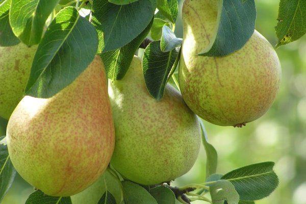 груша саратовка фото плода
